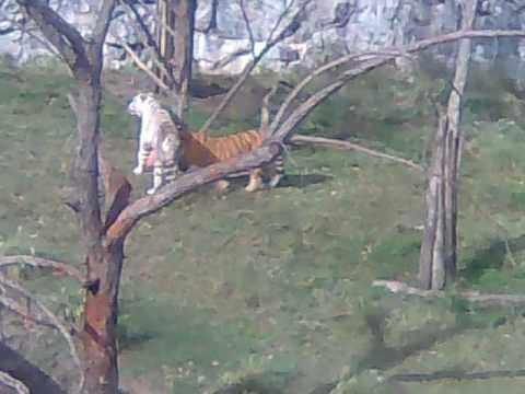 Temaiken Tigres 2 Clasic011.3gp