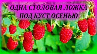 Даю МАЛИНЕ 1 столовую ложку под куст осенью и летом получаю ведро ягод. Чем подкормить малину осенью