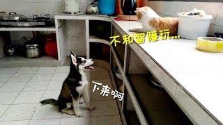 【波比小时候】橘猫和哈士奇打闹,二哈太怂,打架从来就没赢过!
