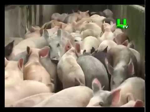 Africa swine fever strikes pig farms in Kumasi