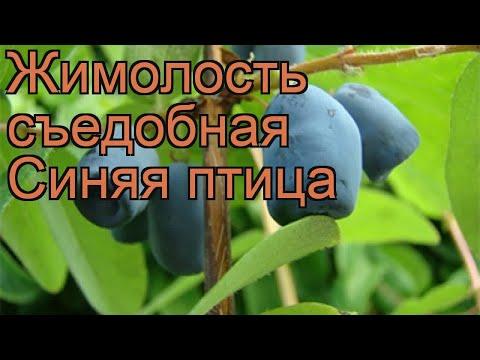 Жимолость съедобная Синяя птица (lonicera edulis) 🌿 обзор: как сажать, саженцы жимолости Синяя птица