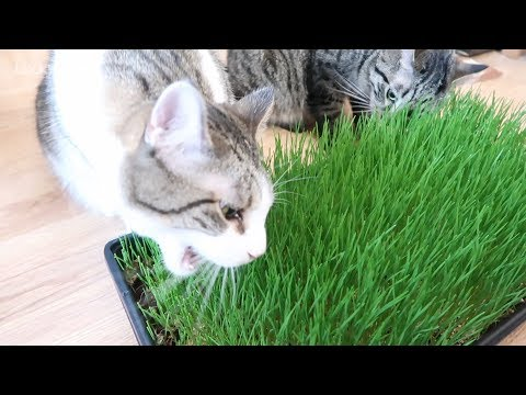 How To Grow Wheatgrass For Cats - Wheatgrass Growing Kit - Cat Grass
