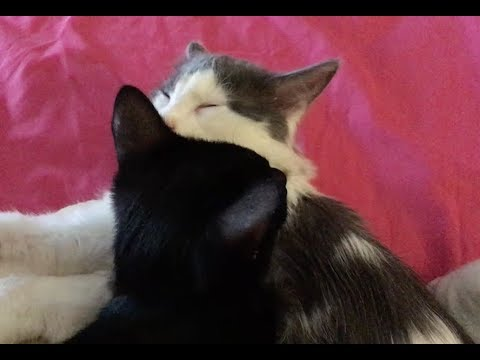 Sleepy Kittens Grooming and Purring - No Talking - Feral Kittens Socialization