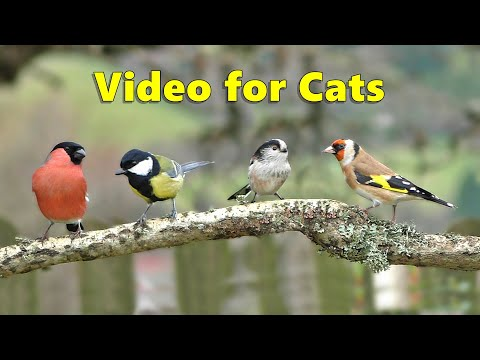 Videos for Cats to Watch : Birds Chirping on The Branch