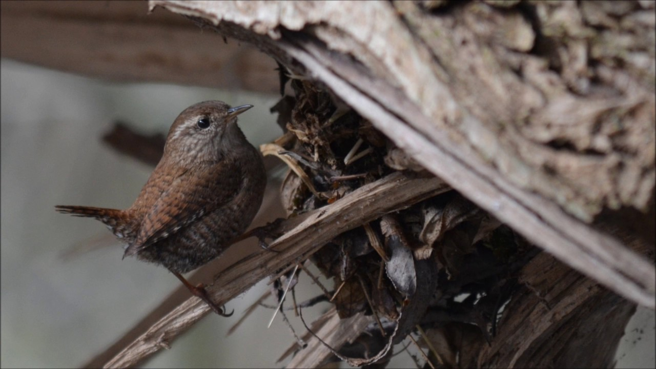 Zaunkonig Beim Nestbau Und Balzgesang Marz 2017 Youtube