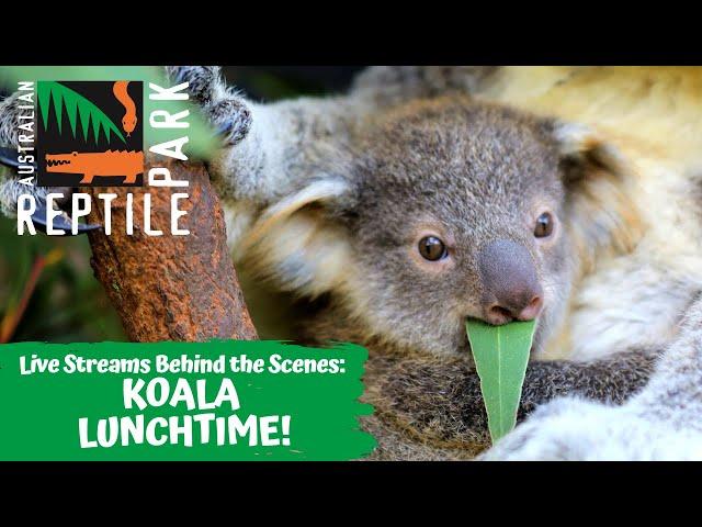 KOALA LUNCHTIME (LIVE FOOOTAGE) | AUSTRALIAN REPTILE PARK