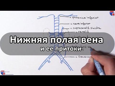Нижняя полая вена и ее притоки - meduniver.com