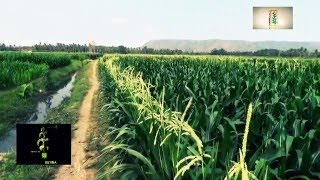 Download Video cara tanam jagung hibrida-Monsanto Indonesia MP3 3GP MP4