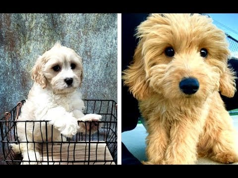 Cavachon vs Cavapoo Puppies and Full Grown Dogs - Similarities and Differences