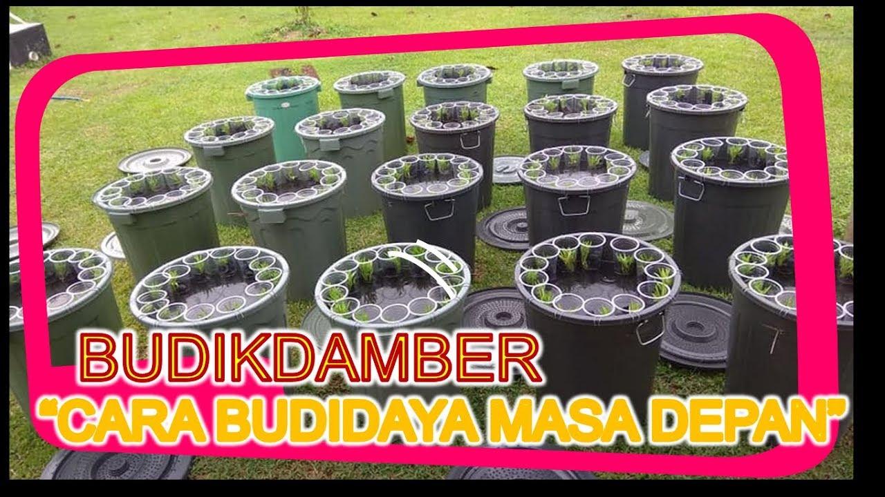 Cara Budidaya Ikan Nila Dalam Ember - InfoAkuakultur.com