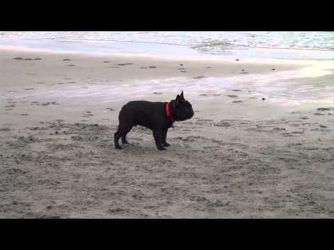 French bulldog Toby on the beach in Greenwich Point park
