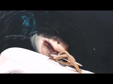 Could A New Breed Of Shark Be New Yorkers' Newest Neighbor?   SHARK WEEK