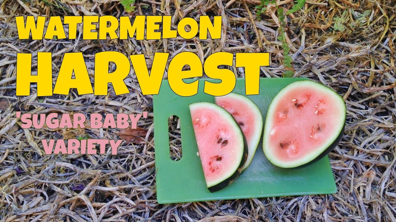 Sugar Baby Watermelon Harvest When To Pick Watermelons