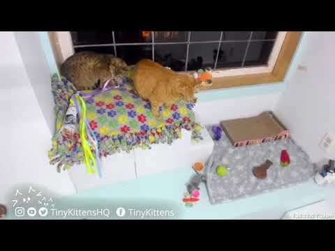 Nyla Steals Ribbons, Gets Chased By Kicker!  TinyKittens.com