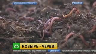 НТВ о дождевых червях