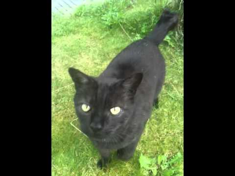 My wild Black Manx cat