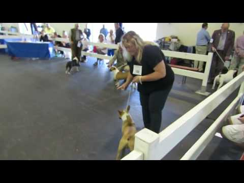 Miniature Bull Terriers Paignton Championship Dog Show 06/08/16