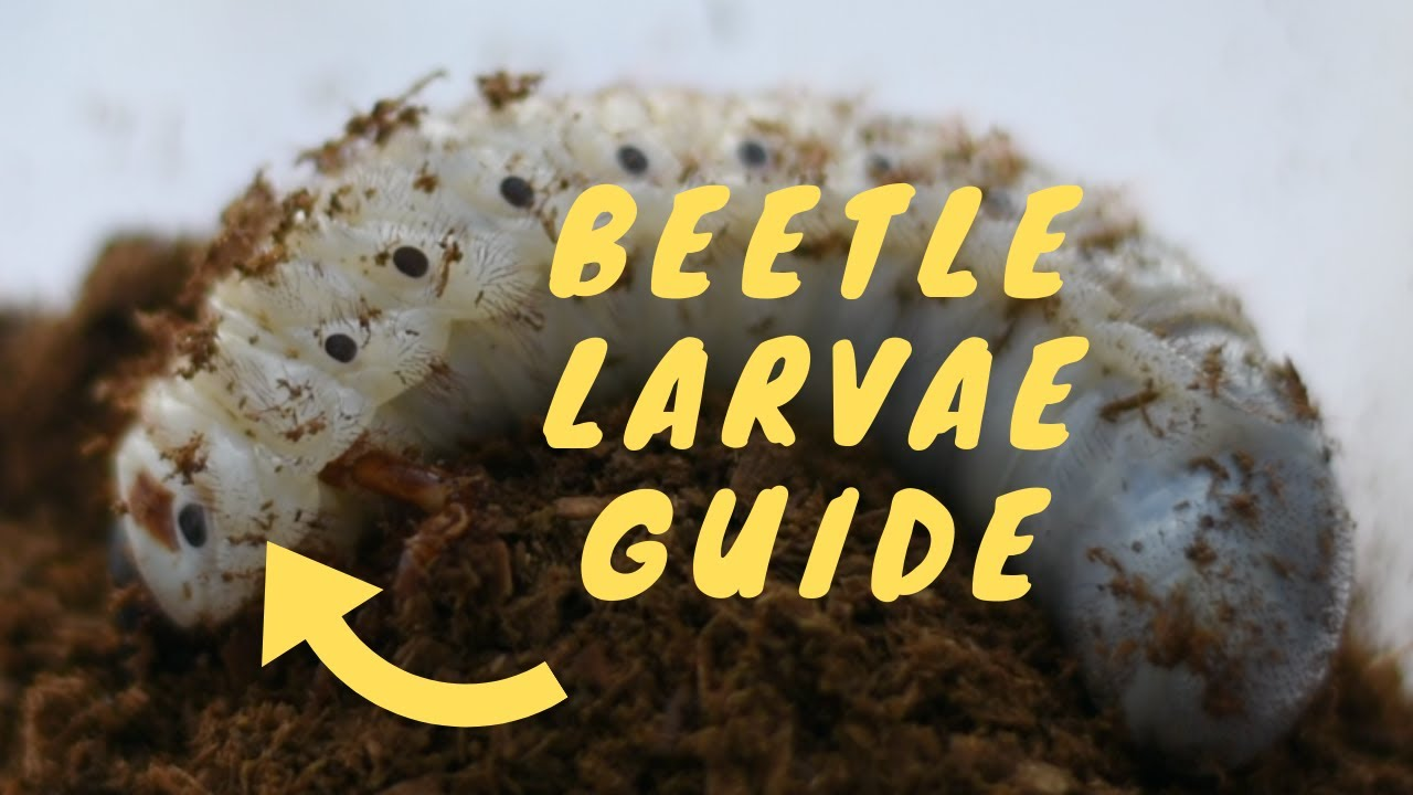 How To Care For Beetle Larvae   Tips For Beginners!   Pets