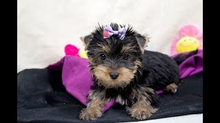 Купить щенка /купить йорка / купить щенка йоркширского терьера