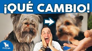 ¡CAMBIO RADICAL!  Cómo cortar el pelo a un perro Yorkshire Terrier con máquina