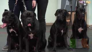 Cats&DogsTV - УДИВИТЕЛЬНЫЙ МИР СОБАК - КАНЕ КОРСО ИТАЛЬЯНО / CANE CORSO ITALIANO DOGS