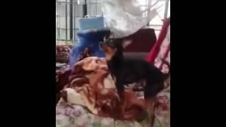 Собака взяла в рот свой   Это жесть!