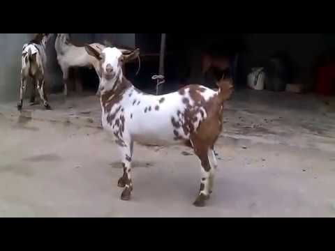 PURE BARBARI MALES FEMALES KHASSI GOATS AVAILABLE by PUREMIX ANIMAL FEEDS  AND PIGEON ACCESSORIES