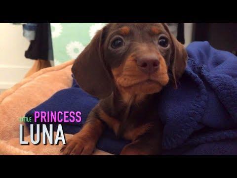Cutest Miniature Dachshund puppy Ever