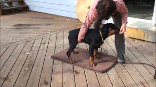 Rottweiler Training For The Show Ring
