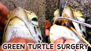 Green sea turtle rescue - Fish hook removal