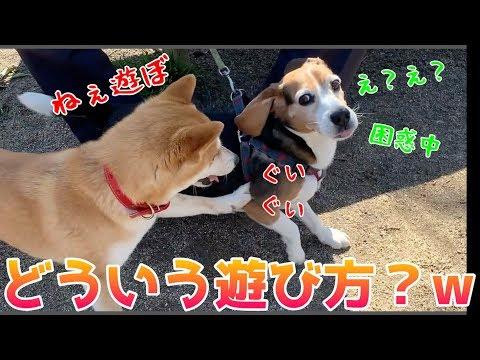 友達に積極的な柴犬ハナは接し方が不器用すぎて怒られる -- Shiba likes the dog.--