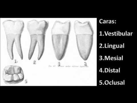 Primer molar inferior - YouTube