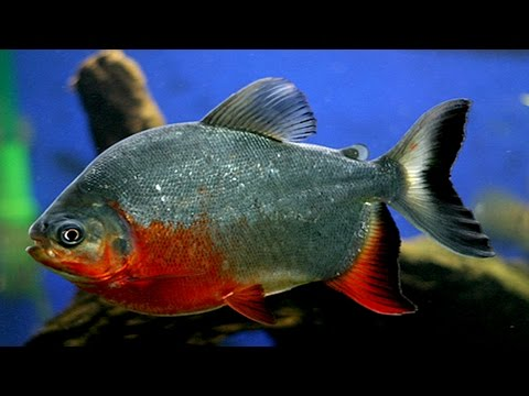 Everything About Pacu || [Caring-Feeding-Breeding]