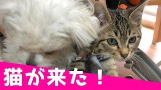 犬3匹の我が家に子猫がやってきた!その名も「ポンプ」くん! 【関連動...