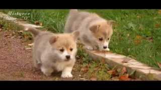 "Welsh Corgi Pembroke Puppies, Mistycor Litter - ""o"""