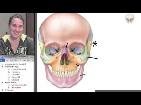 8 Facial bones