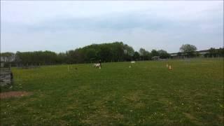 Gitdoon Slàinidh Herding Training 30.04.2015 (Circle-C-Ranch, Vienna)