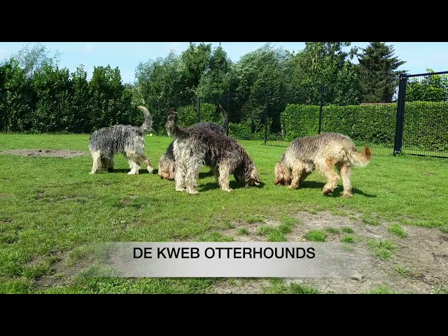De Kweb Otterhound (4)