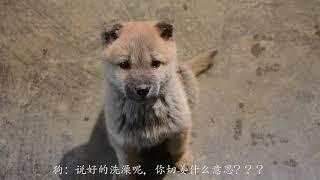 農村小夥給田園犬洗澡,狗:燒水我能理解,切姜什麽意思?