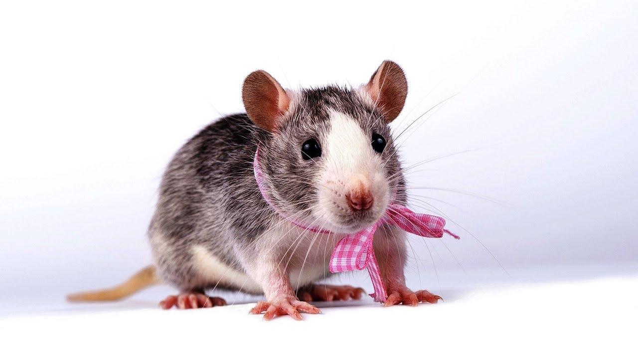 Three rats sex