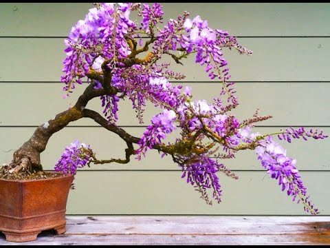 Wisteria Bonsai Tree Youtube