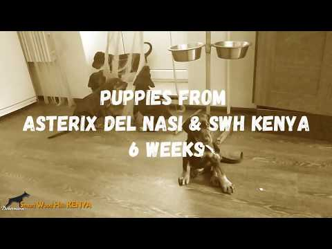 Puppies from Asterix del Nasi & Smart Wood Hills Kenya, 6 weeks