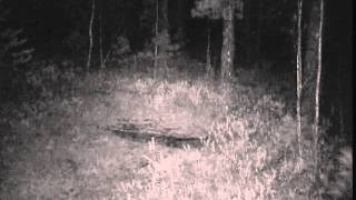 ID4908/Андреев А./Иркутская обл./Испуг и падение косули на солонце