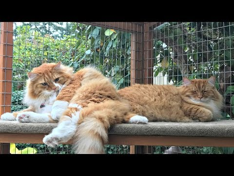 Catio Life: MAINE COON GARDEN CATIO by Catio Spaces
