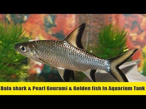 Bala Shark Attack To Golden Fish