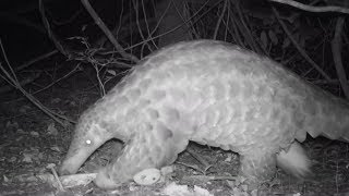 Footage of rare giant pangolins captured by Chester Zoo
