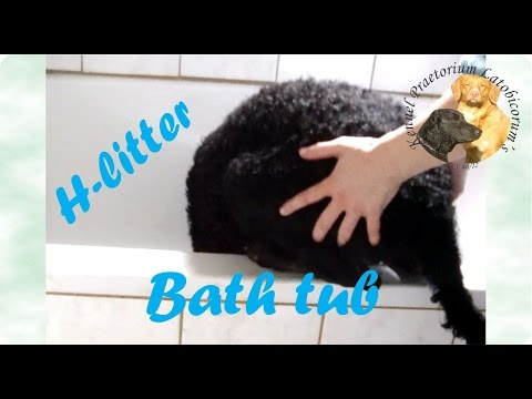 Curly Coated Retriever bigger puppies' bath-time ritual