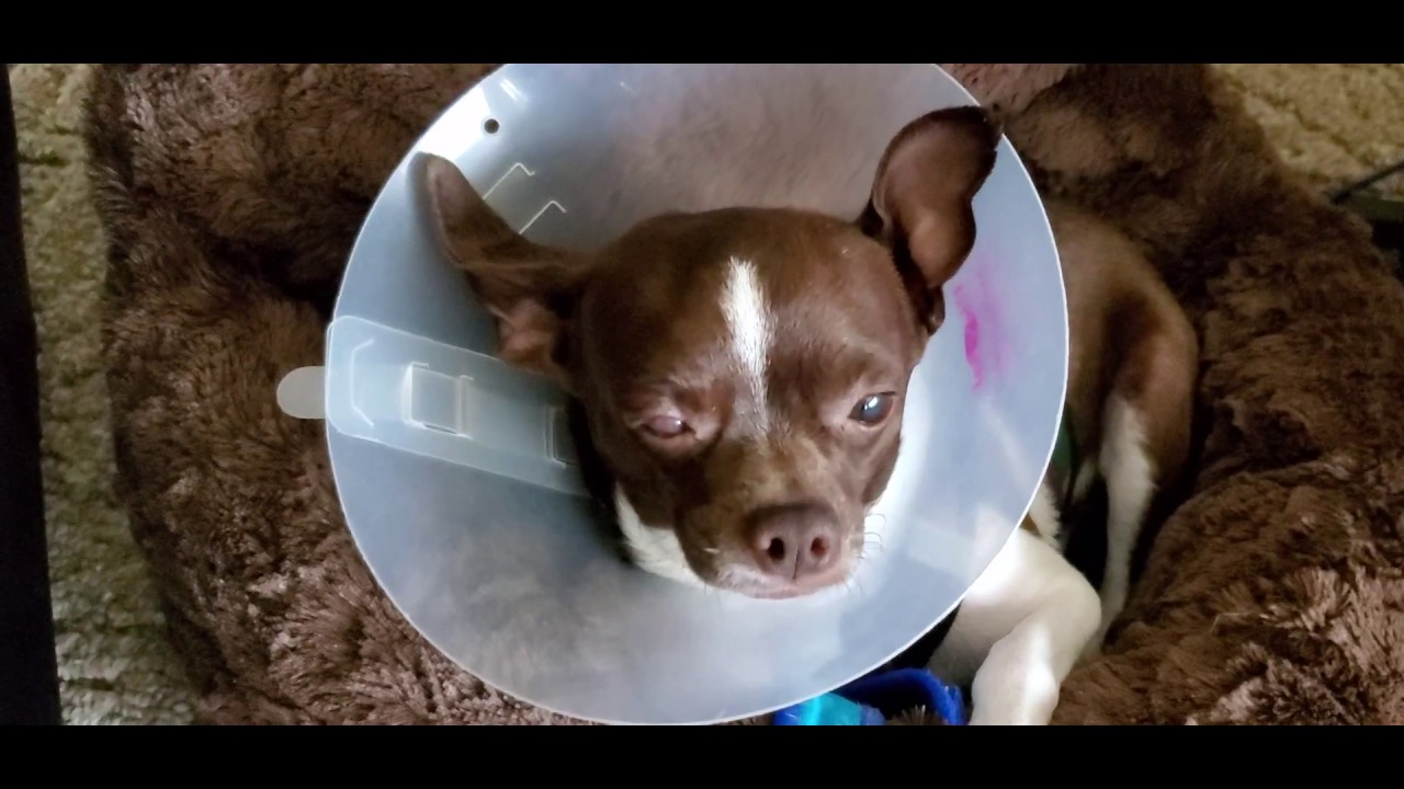MUST WATCH GoFundMe Emergency for my Chihuahua Gizmo Please Help :(