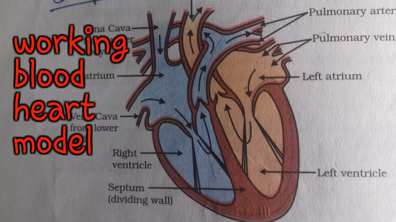 small resolution of  working human heart science model 10th class working heart model science project bio model