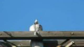 Mockingbird Song and Dance - April 2008